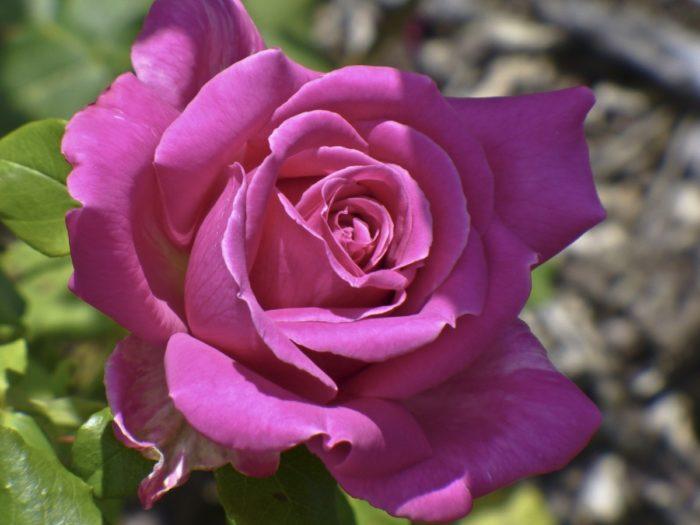 Les Roses Les Couleurs Et Leurs Significations